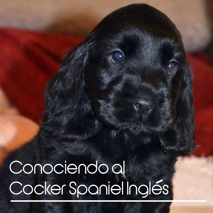 cockerspanielingles